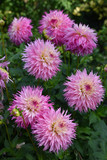 Dahlia mauve au jardin en été - 177277453