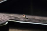 Pacific Swallow (Hirundo tahitica) in Borneo, Malaysia - リュウキュウツバメ - 177282661