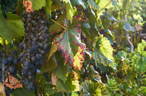 bunch of red grapes on the vine with green leaves - 177296230