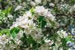 Flowering Apple Tree against in Spring
