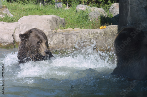 Fotobehang Olijf Grizzly bear in the water
