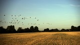 Slow motion pan shot of a flock of migratory geese flying across flat farmland.  - 177304213