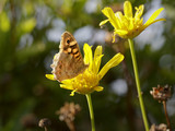 Butterfly sucking pollen from a wild yellow flower - 177304829