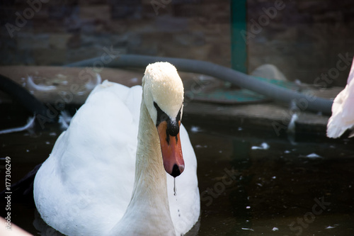 Fotobehang Zwaan White swan in the foggy lake at the dawn. Morning lights. Romantic background. Beautiful swan. Cygnus. Romance of white swan with clear beautiful landscape.