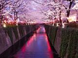 Festival des Cerisers en fleurs, au canal de Meguro à Tokyo, Japon. - 177306656