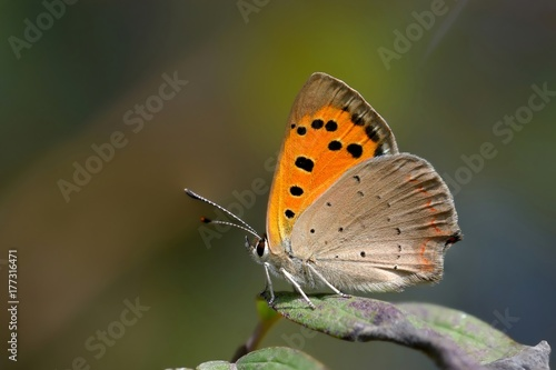 Farfalla posata su foglia-Lycaena phlaeas - 177316471