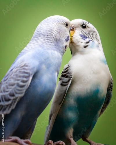 dwie-papuzki-faliste