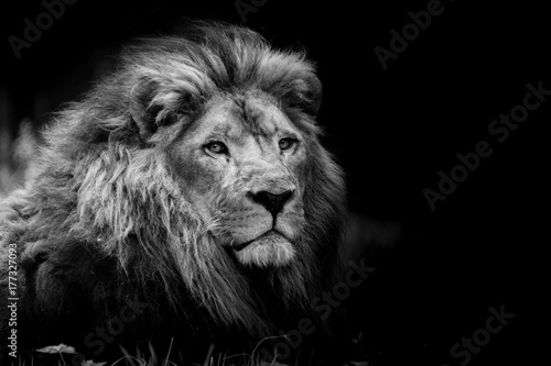 lion portrait © shocky