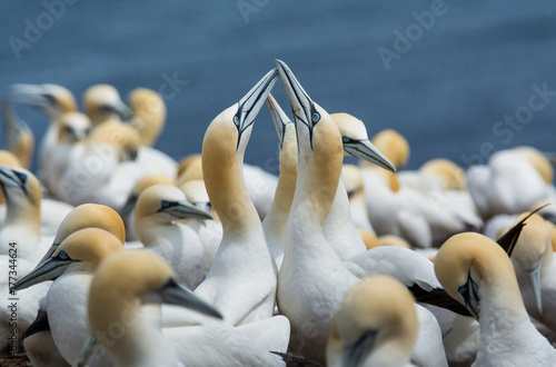 Northern Gannets Socializing