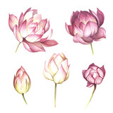 Set with flowers lotus. Hand draw watercolor illustration. - 177355803