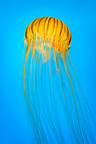 Chrysaora melanaster aka northern sea nettle. The species derives its name from the Greek words melas and aster,meaning