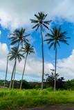 Palm Tree  Hawaii  - 177356880