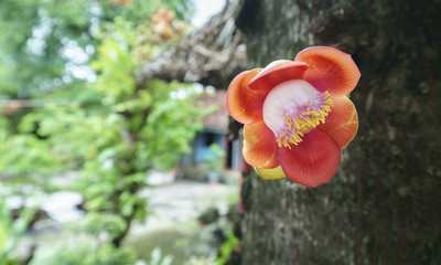 Blooming cannon ball tree, this flower's scientific name is couroupita guianensis flower of religion and is grown in the tropics