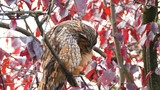 Long-eared owl (Asio otus) sitting high up in a tree with red colored leafs during a fall day. - 177369808
