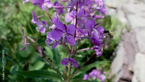 Fridge magnet Slow motion close shot of bee enjoying some purple flowers