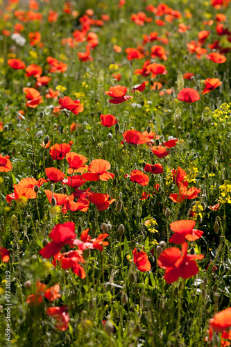 Poppies in sunny field
