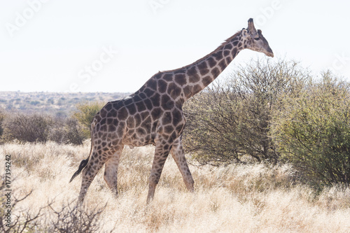 Close up image of a giraffe walking in the kalahari in the Northern Cape provinc Poster