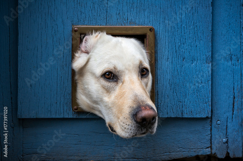 Labrador head poking through cat flap - landscape Poster