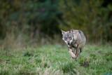 Grey wolf portrait / Bieszczady Mountains