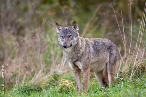 Aluminium Wolf Grey wolf, Bieszczady Mountains