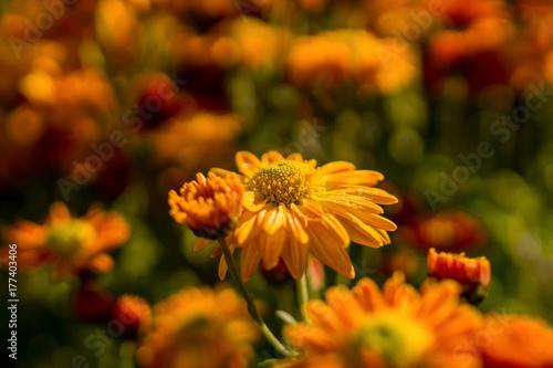 Leinwanddruck Bild orange dahlie