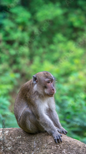 Aluminium Aap macaque monkey sitting on the rock with blurred green vegetation as the background