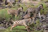 Plains Zebra - 177430069