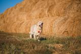 puppy dog golden retriever - 177432624