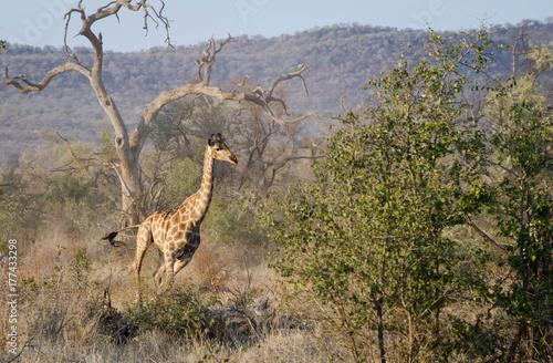 Giraffe running Poster