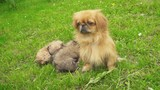 Pekingese puppies are sleeping together - 177436000