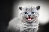 Cute kitten meows. British Shorthair cat - 177436289