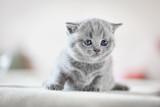 Cute kitten on bed. British Shorthair - 177436431