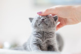 Cute kitten loves being stroked by woman's hand - 177436446