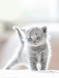 Furry grey standing cat. British shorthair. - 177438650