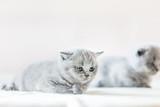 Cute vulnerable little kitten. British shorthair cat. - 177438667