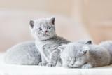 Bunch of little grey cats. British shorthair. - 177438695