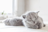 Laying grey cat. British shorthair. - 177438819