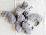 Couple of fluffy kittens sleeping. British shorthair cats. - 177438851