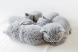Sleeping little cats in a group. British shorthair. - 177439210
