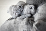 Group of laying cats. British shorthair. - 177439418
