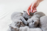 Woman's hand touching one of sleeping cats. British shorthair. - 177439472