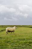 Schaf läuft über die Wiese - 177464874