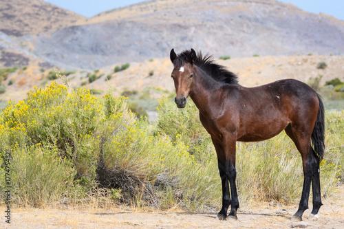 Wild Mustang Colt and Hills Plakát