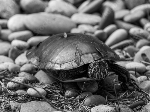 Fotobehang Schildpad Black and White High Contrast Film Stone Turtle