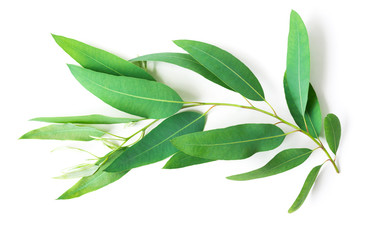Branch and leaves of eucalyptus on white background