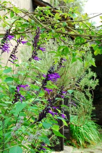 Fotobehang Lavendel Sauge guarani dans un jardin