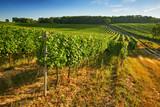 Rows of green vineyards in summer, South Moravian Region, Czech Republic