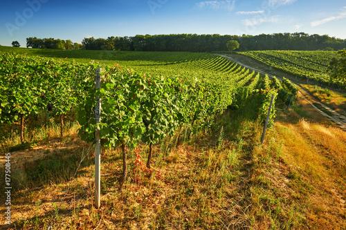 Fotobehang Wijngaard Rows of green vineyards in summer, South Moravian Region, Czech Republic