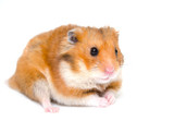Cute funny hamster (isolated on white), selective focus on the hamster eyes