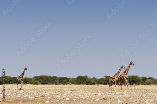 Giraffes at the Etosha National Park / Giraffes in the Etosha National Park, Africa Poster
